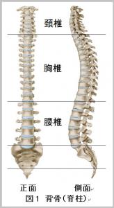 図1 背骨(脊柱)